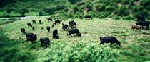 島根県隠岐郡海士町 隠岐潮風ファームの隠岐牛