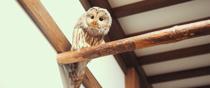 島根県松江市大垣町 松江フォーゲルパークのフクロウ