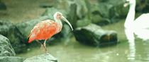 Scarlet ibis in Vogel Park, Ogaki-cho, Matsue, Shimane.