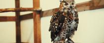 Rock Eagle Owl in Vogel Park, Ogaki-cho, Matsue, Shimane.