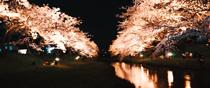 島根県松江市玉湯町 玉湯川堤の夜桜